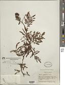view Mimosa grahamii A. Gray digital asset number 1
