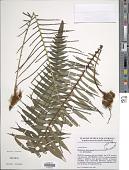 view Blechnum attenuatum (Sw.) Mett. digital asset number 1