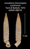 view Liocallonia (Cenocoptis) cumbrensis digital asset number 1