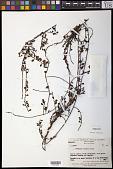 view Cladomyza cuneata Danser digital asset number 1