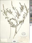 view Ambrosia artemisiaefolia L. digital asset number 1