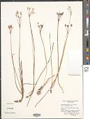 view Nothoscordum bivalve (L.) Britton digital asset number 1