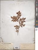 view Sorbus gracilis (Siebold & Zucc.) K. Koch digital asset number 1