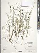view Carex rotundata Wahlenb. digital asset number 1