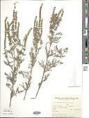 view Ambrosia tenuifolia Spreng. digital asset number 1