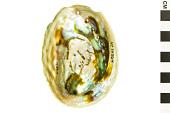 view Paua Abalone, Rainbow Abalone digital asset number 1