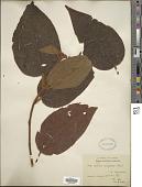 view Miconia aeruginosa Naudin digital asset number 1