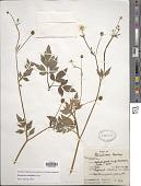 view Ranunculus multifidus digital asset number 1