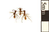 view Legionary Ant digital asset number 1