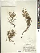 view Vaccinium scoparium Leiberg ex Coville digital asset number 1