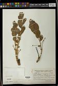 view Bernardia hirsutissima (Baill.) Müll. Arg. digital asset number 1
