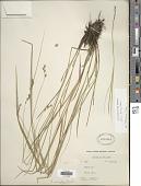view Carex tenera Dewey digital asset number 1