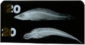 view Butis melanopterus digital asset number 1
