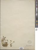 view Hutchinsia alpina W.T. Aiton digital asset number 1