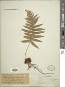 view Polypodium puberulum Schltdl. & Cham. digital asset number 1