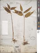 view Stemona japonica digital asset number 1