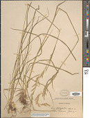view Lolium arundinaceum (Schreb.) Darbysh. digital asset number 1