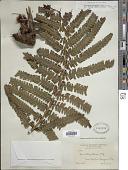 view Cyathea grandifolia var. obtusa digital asset number 1