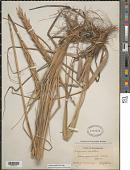 view Leymus mollis (Trin.) Pilg. digital asset number 1