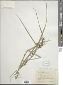 view Scleria secans (L.) Urb. digital asset number 1