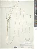 view Carex exilis Dewey digital asset number 1