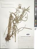 view Cyperus laxus Lam. digital asset number 1