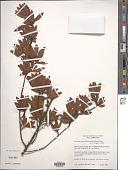 view Kageneckia lanceolata digital asset number 1