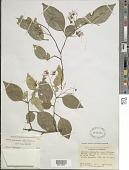 view Swartzia arborescens (Aubl.) Pittier digital asset number 1