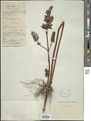 view Perilla frutescens var. crispa digital asset number 1