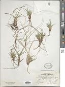 view Carex tonsa (Fernald) E.P. Bicknell digital asset number 1
