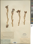 view Iris kamaonensis Wall. digital asset number 1