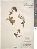 view Hylotelephium telephioides (Michx.) H. Ohba digital asset number 1
