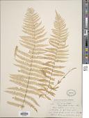 view Parathelypteris nevadensis (Baker) Holttum digital asset number 1