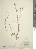 view Madia elegans D. Don ex Lindl. subsp. elegans digital asset number 1