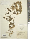 view Mikania urticaefolia Hook. & Arn. digital asset number 1