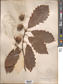 view Quercus michauxii Nutt. digital asset number 1