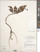 view Pavonia castaneifolia A. St.-Hil. & Naudin digital asset number 1