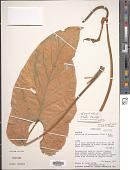 view Anthurium pluricostatum Croat & R.A. Baker digital asset number 1