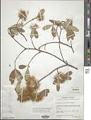 view Lasiocarpus ferrugineus Gentry digital asset number 1