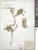 view Fagonia mollis Delile digital asset number 1