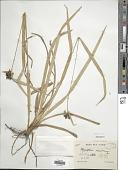 view Hypolytrum mauritianum Nees ex Kunth digital asset number 1