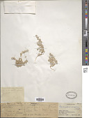 view Paronychia arabica (L.) DC. digital asset number 1