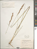 view Sporobolus hookerianus P.M. Peterson & Saarela digital asset number 1