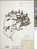 view Hoffmannia excelsa (Kunth in H.B.K.) K. Schum. digital asset number 1
