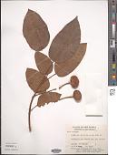 view Ficus variegata Blume digital asset number 1