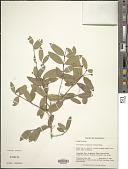 view Myrcianthes cisplatensis (Cambess.) O. Berg digital asset number 1