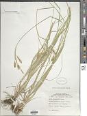 view Carex sprengelii Dewey ex Spreng. digital asset number 1