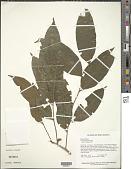 view Neoptychocarpus sp. digital asset number 1