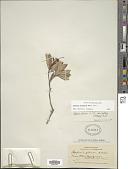 view Befaria aestuans Mutis ex L. digital asset number 1