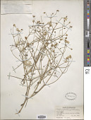 view Clematis aspleniifolia Schrenk digital asset number 1